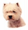 WEST HIGLAND WHITE TERRIER II